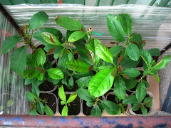 Verde in gabbia (di Grenar)
