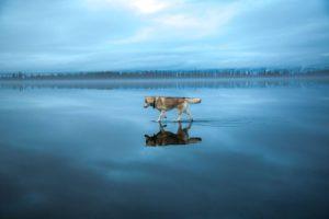 lupo nell'acqua